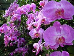 SingaporeOrchids