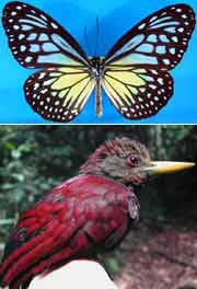 The maroon woodpecker and the Parantica aspacia aspacia(top image), are both species that have become extinct in Singapore.